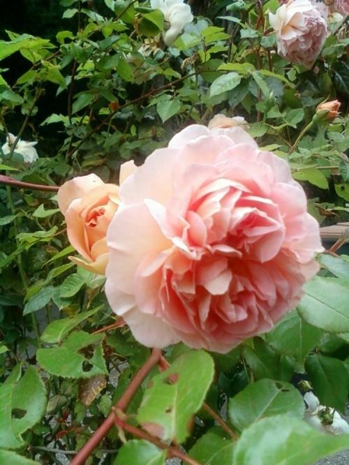 Rose_lp