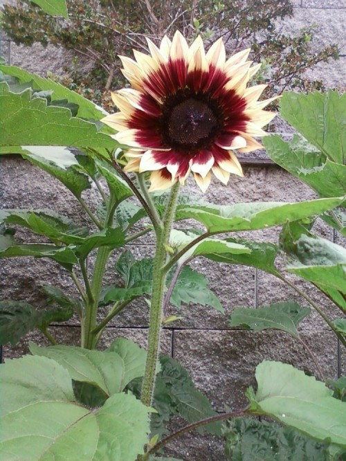 Sunflower_red