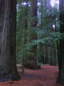 Avenue of the giants, NO CA Nov 17 2012
