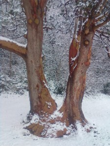 Jan. 2012 snow and Tree Lincoln Park