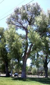 Beautiful old trees in Granite Creek park