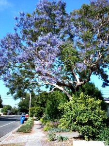 Lavendar colored flower trees ventura CA